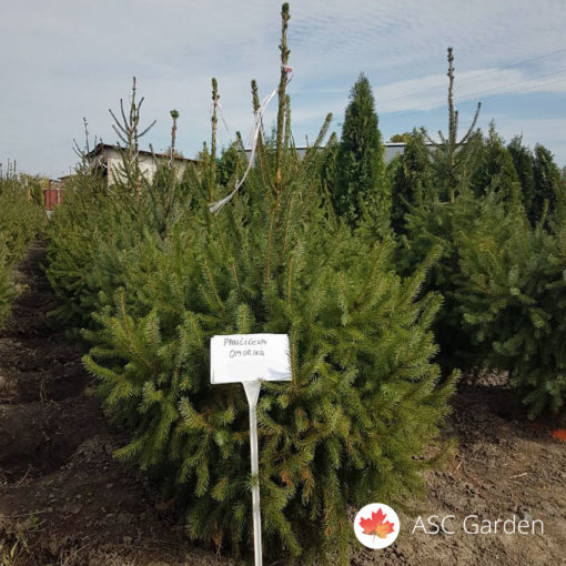 Pančićeva omorika - Picea omorica