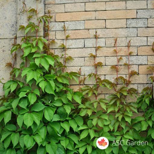 Parthenocissus quinquefolia crvenolisna puzavica