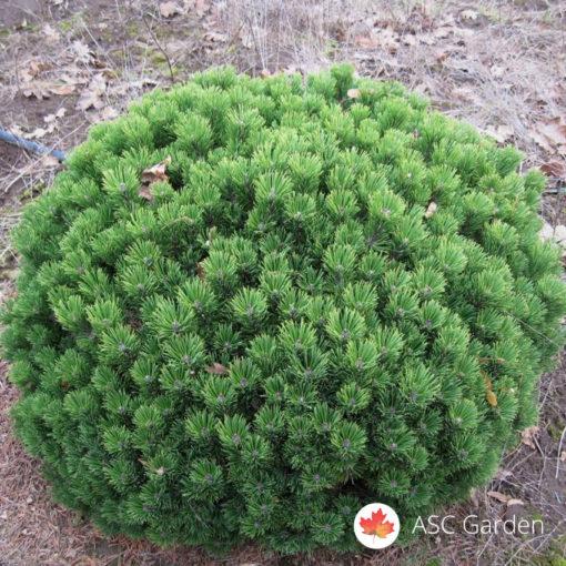 Patuljasti bor Pinus mugo