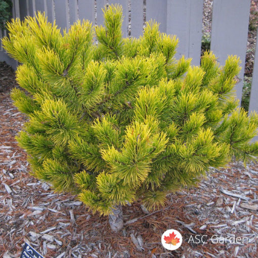 Patuljasti zlatni bor - Pinus mugo winter Gold
