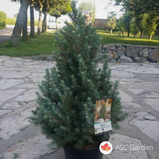 Picea glauca Sanders Blue