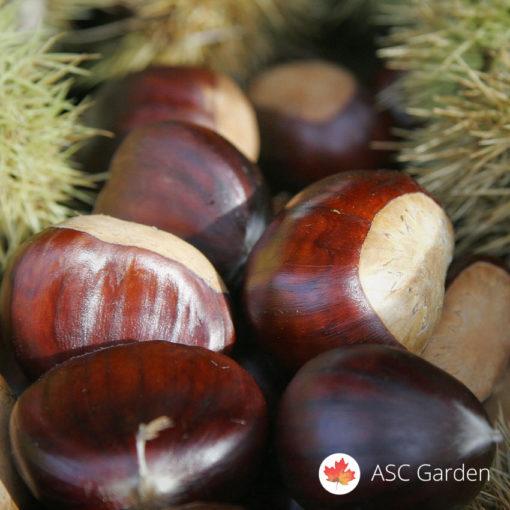 Pitomi kesten Castanea sativa