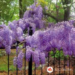 Plava kiša Wisteria sinensis