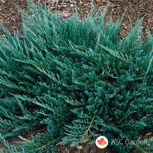 Plava polegla kleka Juniperus hor. Blue Chip