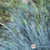 Plava trava Festuca glauca