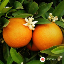 Sadnice pomorandže Citrus sinensis