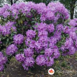 Rododendron Catawba Grandiflorum