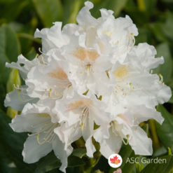 Rododendron Cunningham's White