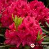 Rododendron Nova Zembla