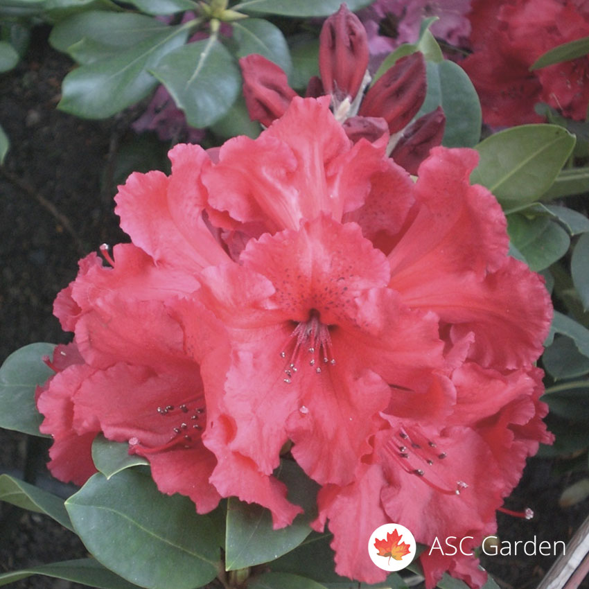 Rododendron Red Jack