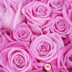 Ruža čajevka akva