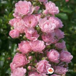 Ruža stablašica FERI