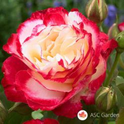 Ruža čajevka Dupla radost - Double delight