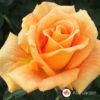 Ruža čajevka Gold Monika