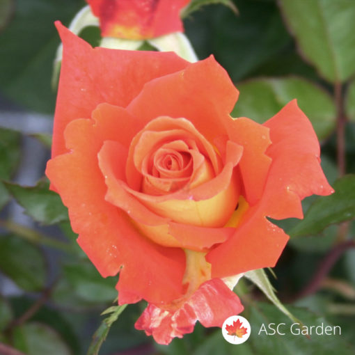 Ruža čajevka Monika