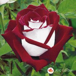 Ruža čajevka Osiria