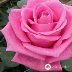 Ruža čajevka Pavaroti