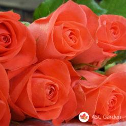Ruža čajevka Perla