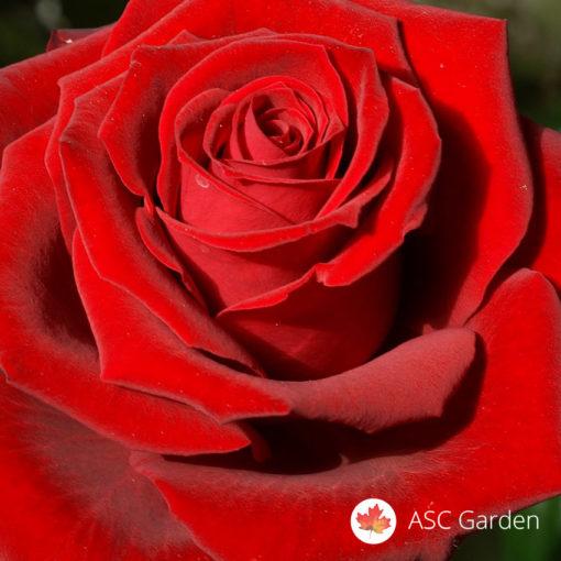 Ruža čajevka Red Berlin