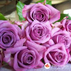 Ruža čajevka Šarl de Gol