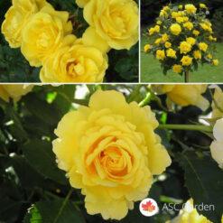 Ruža stablašica FRIESIA