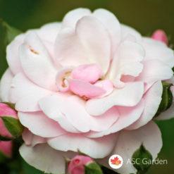 Ruža mnogocvetnica Diadem