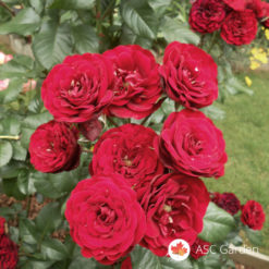 Ruža mnogocvetnica Lavaglut