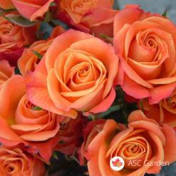 Ruža mnogocvetnica Mambo
