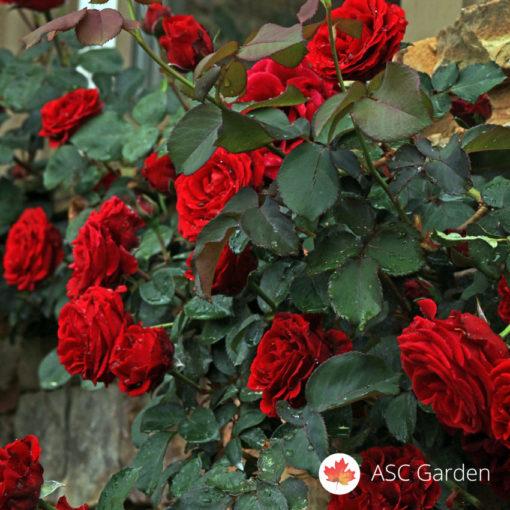 Ruža puzavica Don Juan