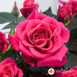 Ruža puzavica Parada