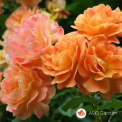 Ruža puzavica Westerland