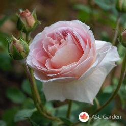 Ruža stablašica Abraham Darby
