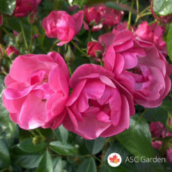 Ruža stablašica Angela