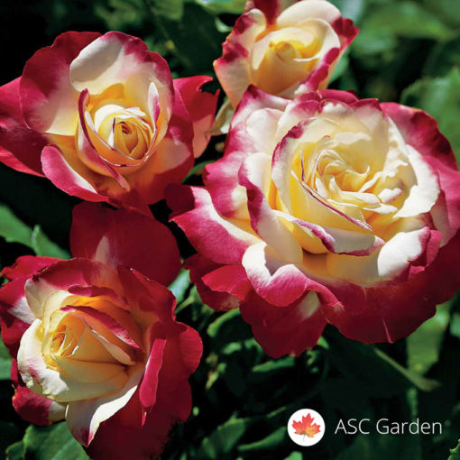 Ruža stablašica Double Delight