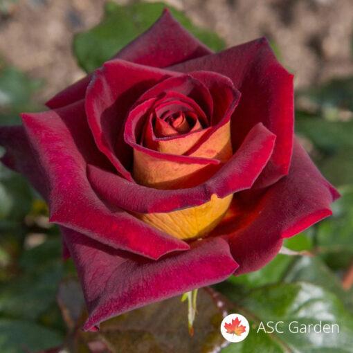 Ruža stablašica EDI MIČEL
