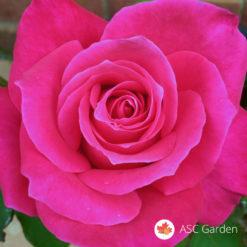 Ruža stablašica Gizi