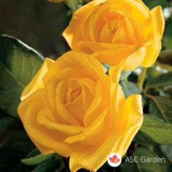 Ruža stablašica Golden medalion