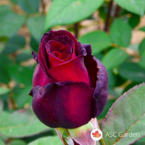 Ruža stablašica Grand Gala