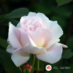 Ruža stablašica Helena
