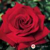 Ruža stablašica Ingrid Bergman