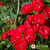 Ruža stablašica Scarlet M. Decor