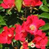 Ruža stablašica Sommerabend