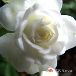Ruža stablašica White mini