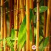 Sadnice Bambusa Phyllostachys