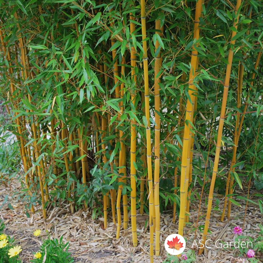 Prodaja Sadnica Bambusa Sadnic Bambusa Cena Rasadnik Bambusa