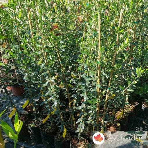sadnice-masline