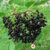 Crna zova Sambucus nigra Haschberg