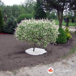 Šarena vrba - Salix integra