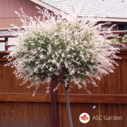 Šarena vrba Salix integra
