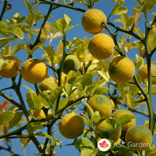 Sibirski limun Poncirus trifoliata